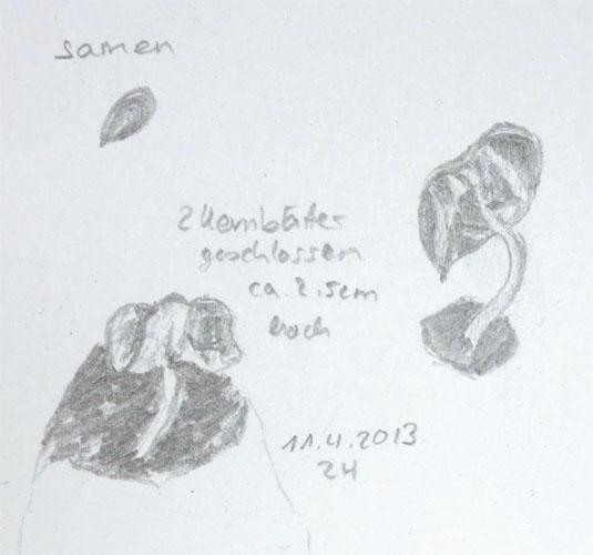 Gossypium Arboreum 1. Tag. Bleistiftzeichnung.