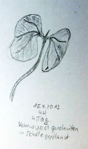 Gossypium Arboreum 4. Tag. Bleistiftzeichnung