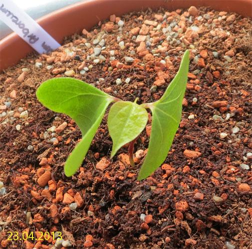 Gossypium Arboreum. 2 Wochen nach Keimung. Zwei Keimblätter sind voll entfaltet, das erste echte Blatt wird ausgeprägt. Foto.